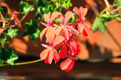 Blooming red flowers in a sunny day. Stock Photo