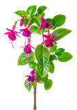 Blooming red fuchsia flower is isolated on white background, clo Royalty Free Stock Images