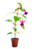 Blooming red fuchsia flower in pot is isolated on white backgrou Royalty Free Stock Photos