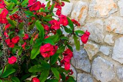 Blooming red geranium at a stone fence stock image