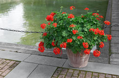 Blooming red geraniums Stock Photos