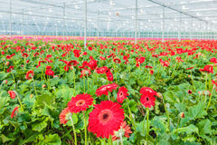 Blooming red gerberas in a Dutch greenhouse Stock Photography