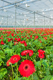 Blooming Red Gerberas In A Dutch Greenhouse Royalty Free Stock Photo