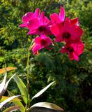 A blooming red orchid on the background of the forest Royalty Free Stock Photo