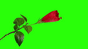 Blooming red Hibiscus flower buds green screen, FULL HD. stock video footage