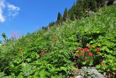 Blooming red Indian paintbrush. Red Indian paintbrush flowers bloom in North Cascades Stock Photography