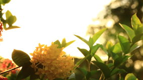 Blooming Red Ixora flowers Nature Footage with flare stock footage