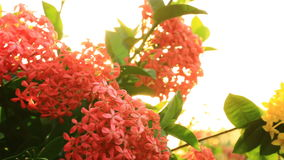 Blooming Red Ixora flowers Nature Footage with flare stock video