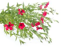 Blooming red linen with green leaves isolated Stock Photos