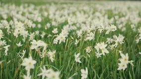 Blooming Red List daffodil in the spring mountains. Blooming narcissus in the spring mountains. Outside shooting, spring stock footage