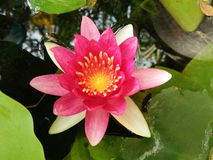 Blooming red lotus flower in pond. Blossom red lotus flower or water lily growing in pond stock image