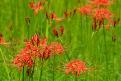 Blooming red lycoris radiata. A large quantity of red lycoris radiata are blooming in September royalty free stock image