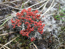 Blooming red moss Stock Images