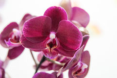 Blooming red orchid Stock Photo