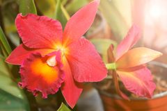 Blooming red Orchid close-up in warm colors.  Stock Images