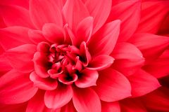 Blooming red pink dahlia flower macro photo. Picture in color emphasizing the pink colours and reddish shadows in a intricate geometric pattern Stock Image