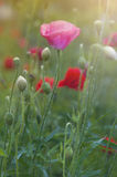 Blooming red poppies Royalty Free Stock Photo
