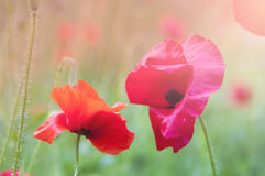 Blooming red poppies Royalty Free Stock Photography
