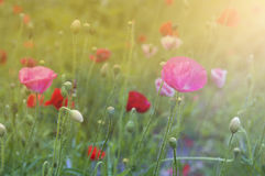 Blooming red poppies Stock Photography