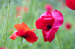 Blooming red poppies Royalty Free Stock Images