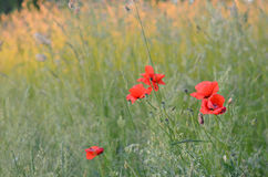 Blooming red poppies. On the edge of a wheat field on a summer day Royalty Free Stock Images