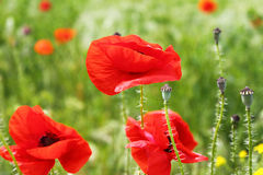 Blooming red poppies Royalty Free Stock Photos