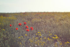 Blooming red poppies in the sunlight in steppe Stock Photos