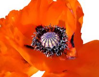 Blooming red poppy stock images