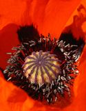 Blooming red poppy close up Royalty Free Stock Photo