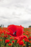 Blooming red poppy flower against cloudy summer sky Royalty Free Stock Photography