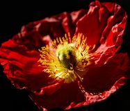 Blooming Red Poppy Flower Royalty Free Stock Images