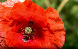 Blooming red poppy flower Stock Photos