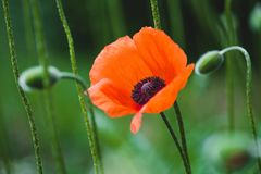 Blooming red poppy flower. On summer meadow royalty free stock photography