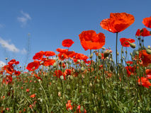 Free Blooming Red Poppy In A Wheat Field Royalty Free Stock Photo - 58062505