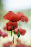 Blooming red poppy in the meadow Royalty Free Stock Photos