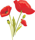 Blooming red poppy on the white stock photography