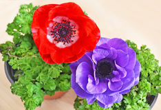 Blooming red and purple anemones in flower pots stock image