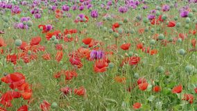 Blooming red and purple poppies, grass on field, grassland. Blooming red and purple poppies with unripe seed heads and green grass on field. Grassland at windy stock video footage