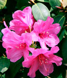 Blooming red rhododendron Royalty Free Stock Image