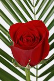 Blooming red rose Royalty Free Stock Photos