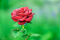 Blooming red rose Royalty Free Stock Image