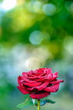 Blooming red rose Royalty Free Stock Photo
