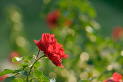 Blooming red rose Stock Image