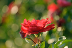 Blooming red rose Stock Images