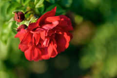 Blooming red rose Royalty Free Stock Images