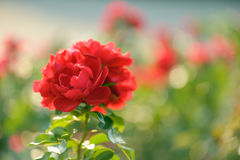 Blooming red rose. Beautiful blooming red rose on a bush in the garden on a sunny day, shallow DOF, soft focus, horizontal composition Stock Images