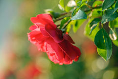 Blooming red rose Stock Photos