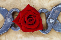Blooming red rose clutched in forceps, abstract background. A blooming red rose clutched in forceps, abstract background Royalty Free Stock Image