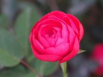 Blooming rose flower. A blooming red rose flower in a garden royalty free stock photography