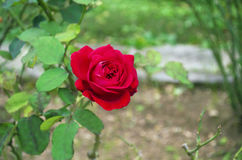 Blooming red rose with green natural background stock photos